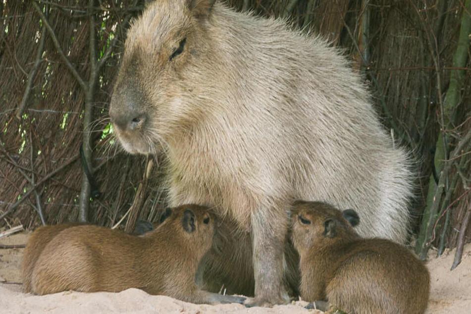 Noch sind die Kleinen sooo süß. Ausgewachsen können sie bis zu 1,50 Meter werden, mit einem Idealgewicht von 50 Kilo.