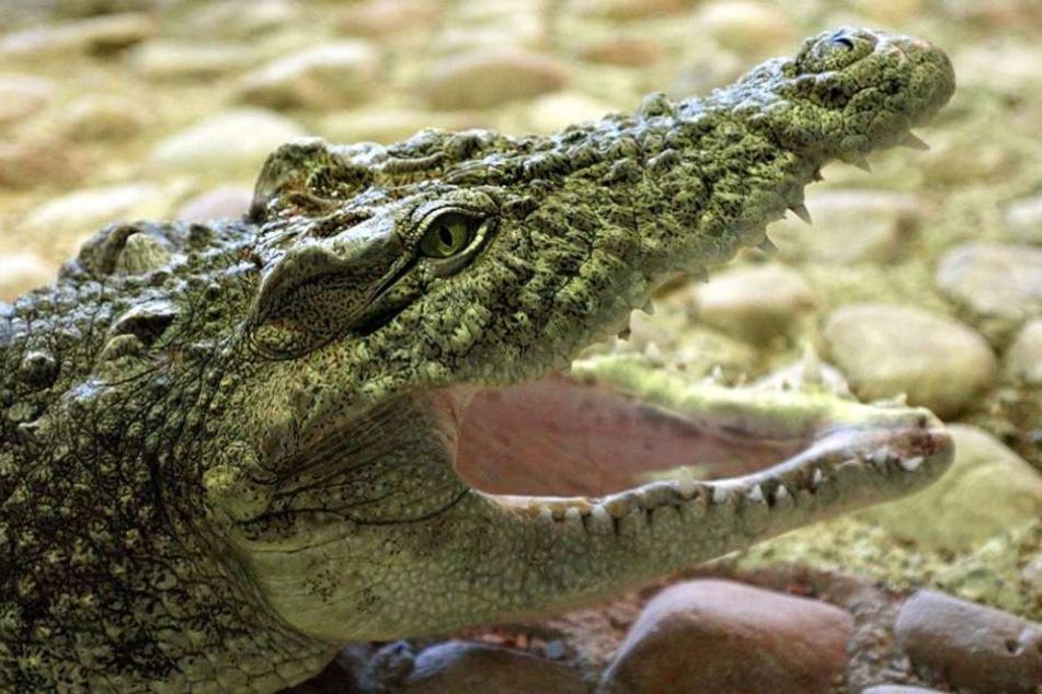 Das Krokodil griff das Schlauchboot an und tötete dabei einen der Touristen. (Symbolbild)