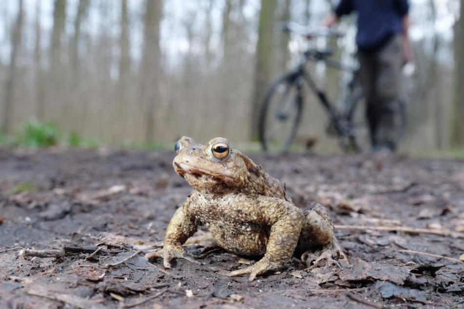insgesamt gibt es in Dresden und Umgebung 3,3 Kilometer lang Kröten-Schutzzäune.