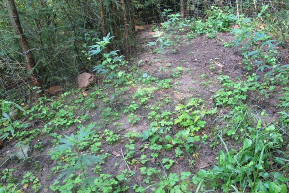 Cannabis-Pflanzen im Wald entdeckt: Polizei ermittelt