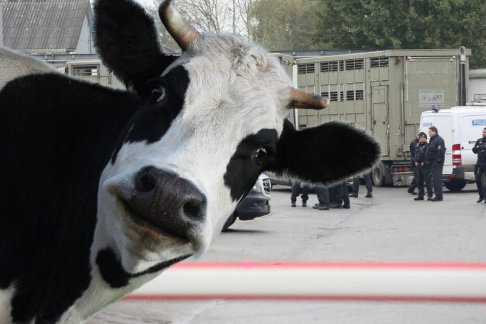 Schwein gehabt: Kuh Hanna darf Medienberichten zufolge auf der Weide bleiben und landet wahrscheinlich nicht auf der Schlachtbank. (Symolbild, BIldmontage)