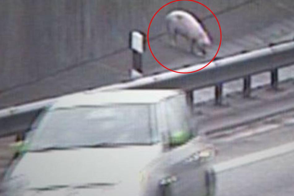 In Hamburg ist ein Schwein durch den Elbtunnel geirrt.