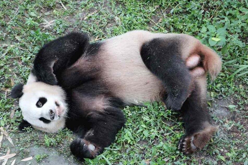 """Das Panda-Männchen """"Jiao Qing"""" soll am 24. Juni nach Berlin kommen."""