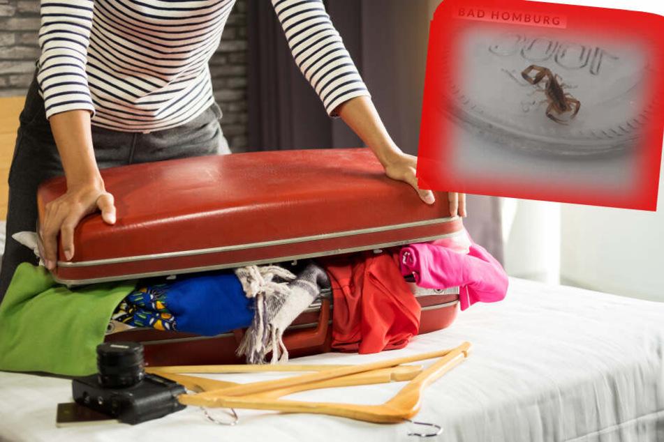 Fotomontage: Ein Skorpion hatte sich als blinder Passagier in den Koffer der Frau geschmuggelt.