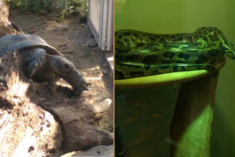 Etwas exotischer: Eine Landschildkröte (Lebenserwartung um die 150 Jahre) und ein 3,5 Meter langer Königspython warten auf Vermittlung.