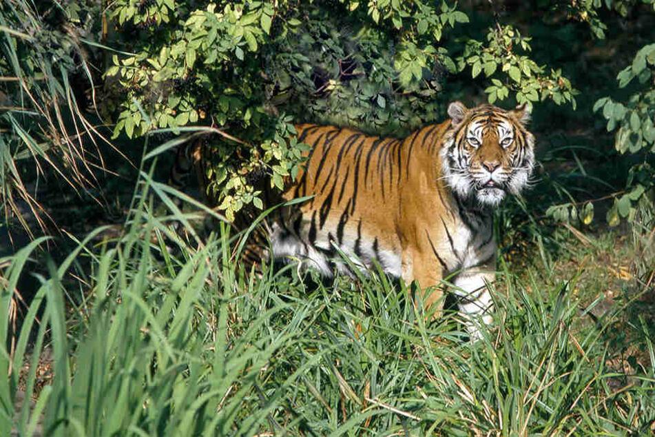 In Indonesien wurde ein Mann von einem Sumatra-Tiger getötet. (Symbolbild)