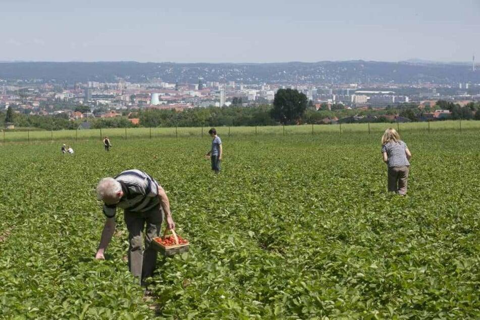 Betroffen sind besonders die Erdbeer-Frühsorten: Um Dresden werden zehn  Prozent Ernte-Einbußen erwartet.
