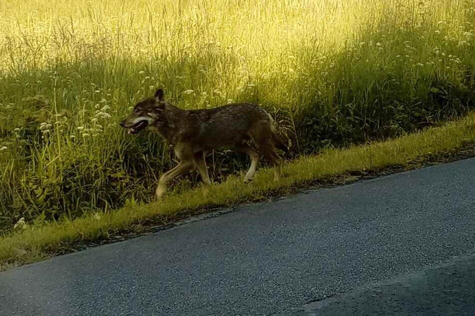 Mitten auf der Straße spazierte das zutrauliche Tier zwischen den Autos umher.