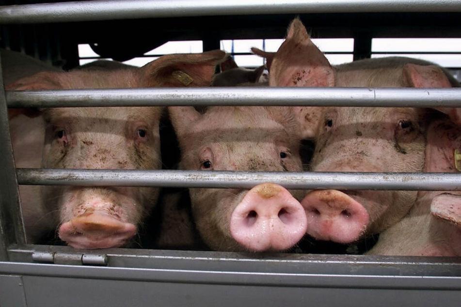 Unter teils unmöglichen Bedingungen wurden die Tiere transportiert (Symbolbild).