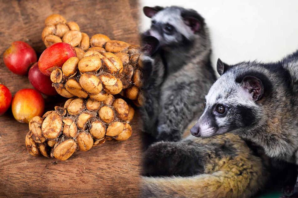 Teuerster Kaffee der Welt: So grausam werden Zibet-Katzen gequält