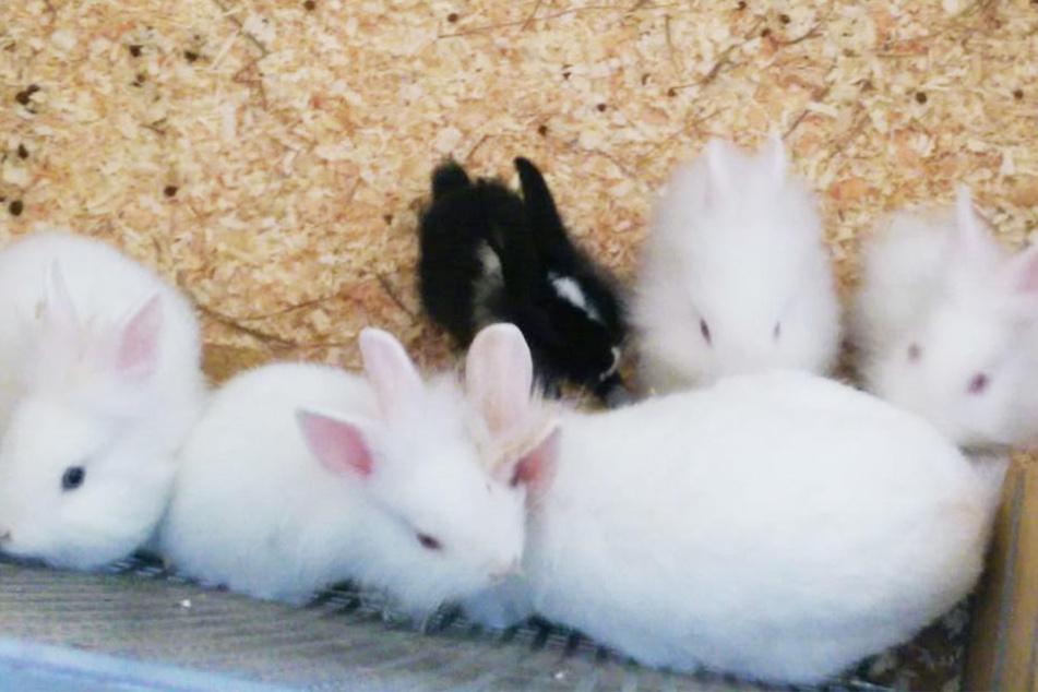 Mutter (v.r.) und Kinder: Diese sechs flauschigen Zwergkaninchen wollen nicht weiter im Tierheim leben.