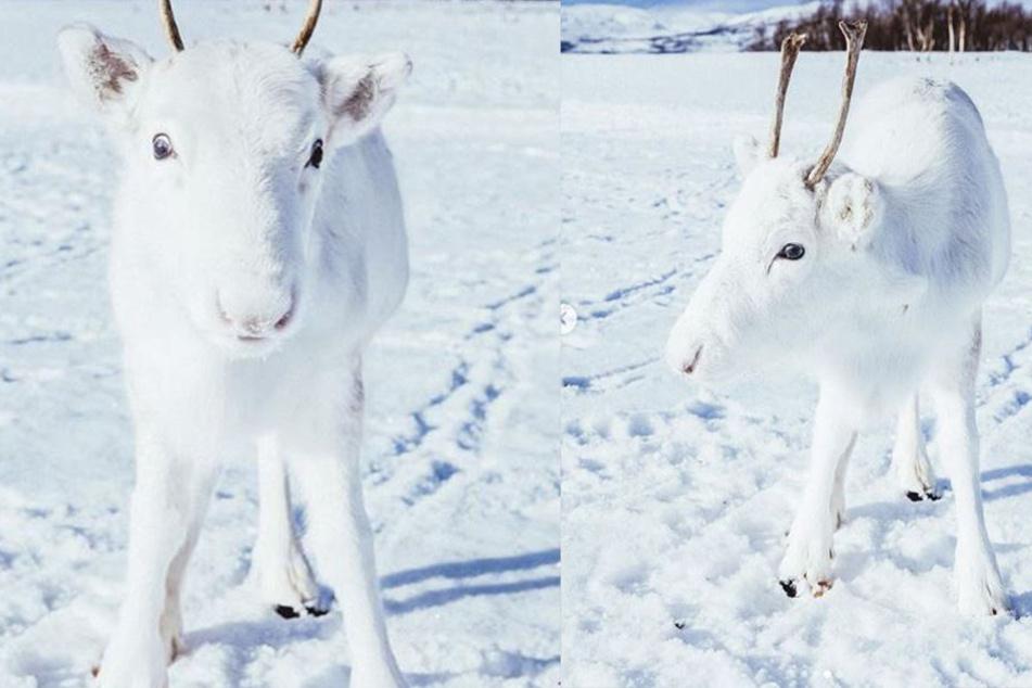 Ein weißes Rentier im Schnee. Die perfekte Tarnung.