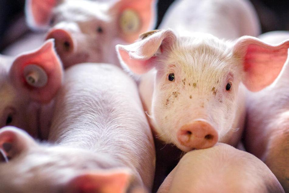 Mann entsorgt bis zu 30 Schweineköpfe im Wald