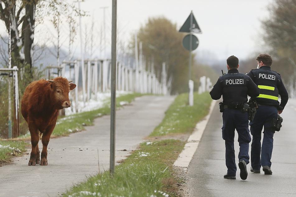 Cowboys: Polizisten nähern sich einer freilaufenden Kuh, die aus der angrenzenden Weide ausgebüxt war. (Archivbild)