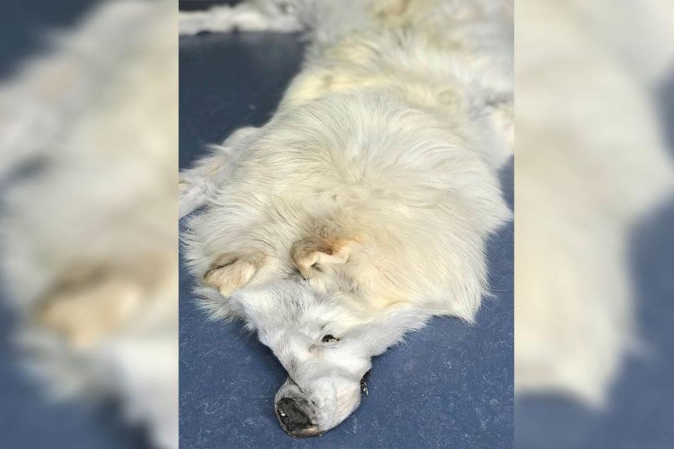 Das Fell eines Polarwolfes haben Zöllner des Zollamts Garching – Hochbrück am Montag in einem Postpaket aus Florida festgestellt.