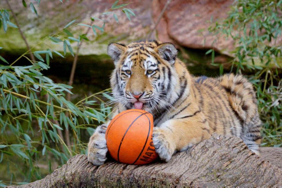 So wird der neue Tiger in Chemnitz integriert