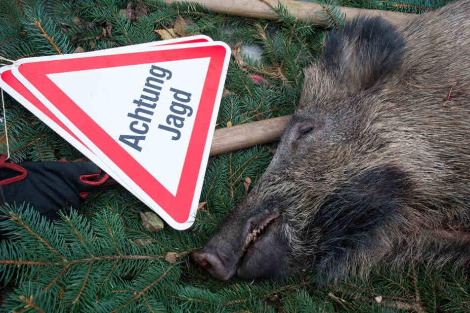 Die Jäger im Landkreis Nordsachsen sollen verstärkt Wildschweine erlegen. (Symbolbild)