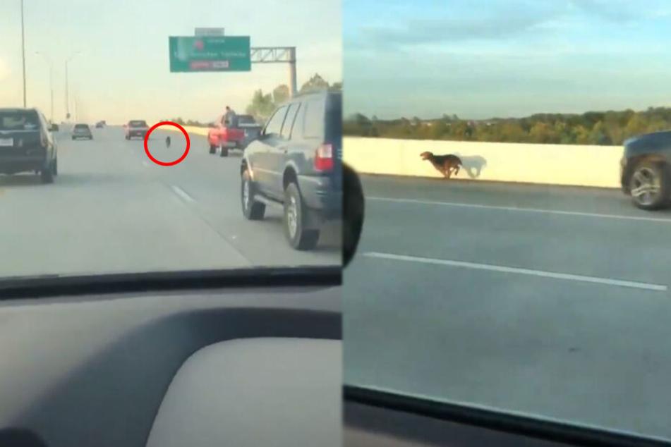 Dramatische Szenen: Warum rennt dieser Hund auf der Autobahn umher?