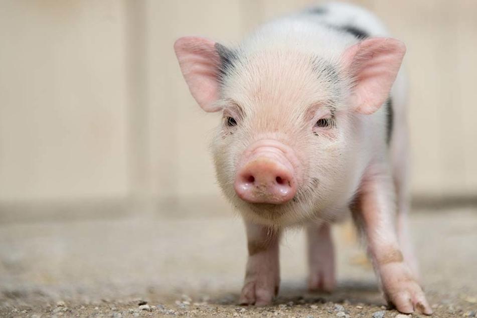 Ein Zwergschwein wie dieses musste am Freitag (28.10.) sterben.