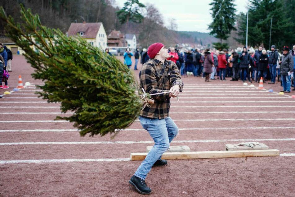 """Ist schwieriger, als es aussieht: Beim """"Knutfest"""" werden die Weihnachtstannen weit und hoch geworfen und auch geschleudert."""
