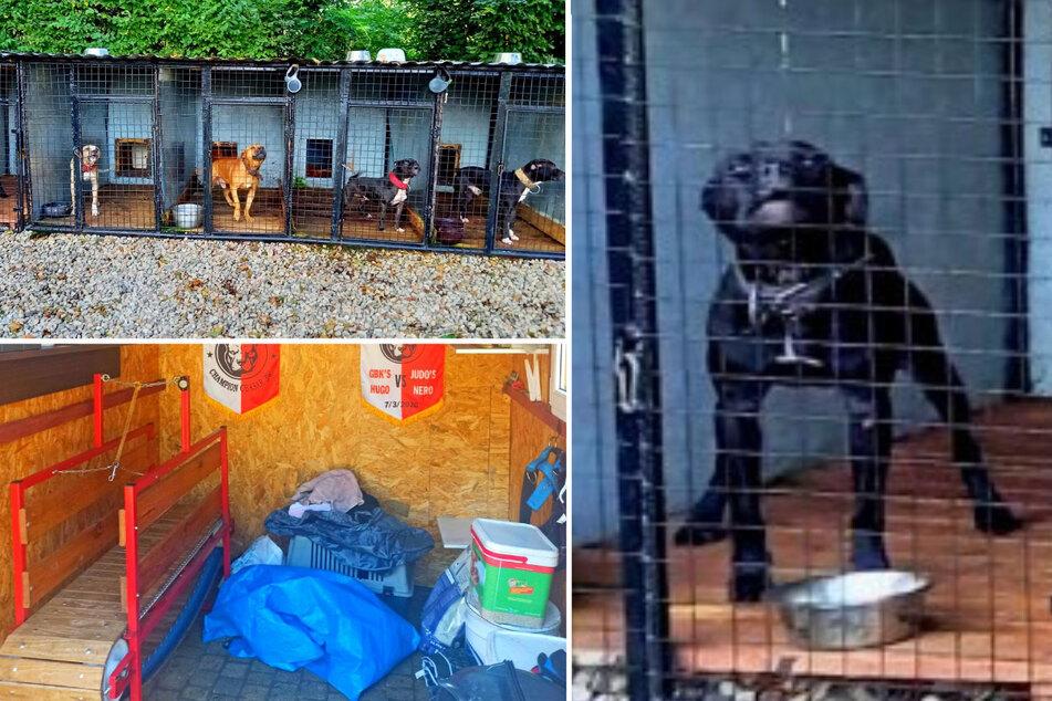 41-Jähriger organisierte brutale Hundekämpfe: Festnahme!