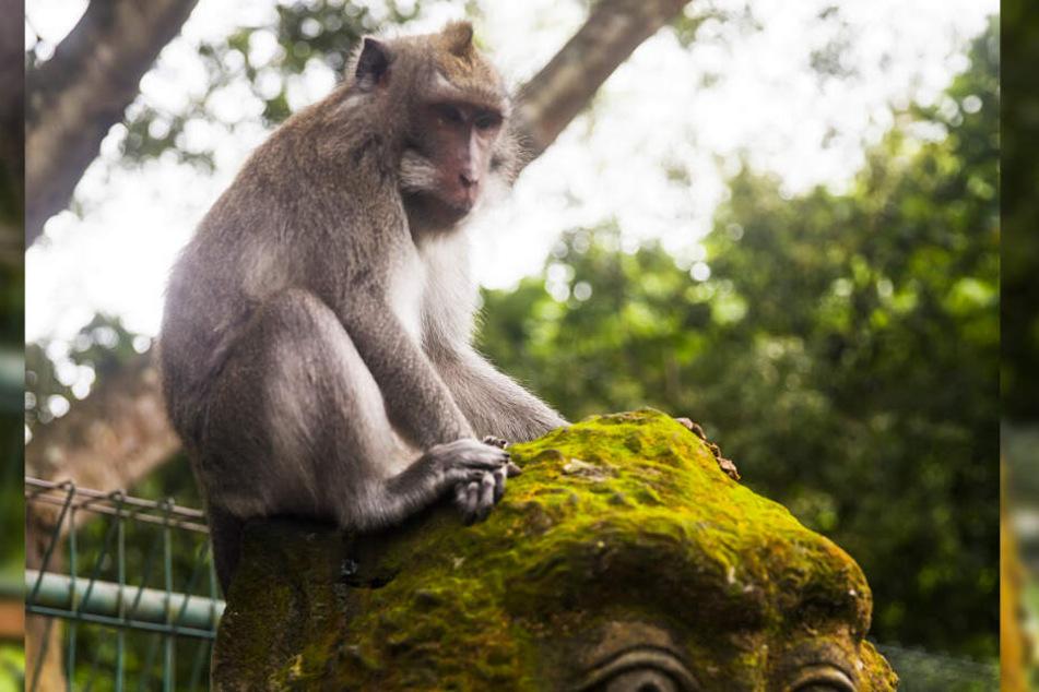 Ein Affe ließ einen Stein auf ein Baby fallen. Es überlebte den Unfall nicht. (Symbolbild)