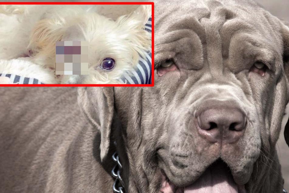 Kampfhund beißt Yorkshire-Terrier in Klinik, dieser verliert sein Auge!