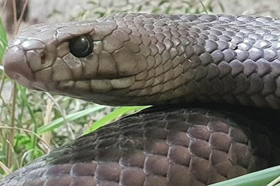 Die braune Schlange ist eine der giftigsten Schlangen der Welt.