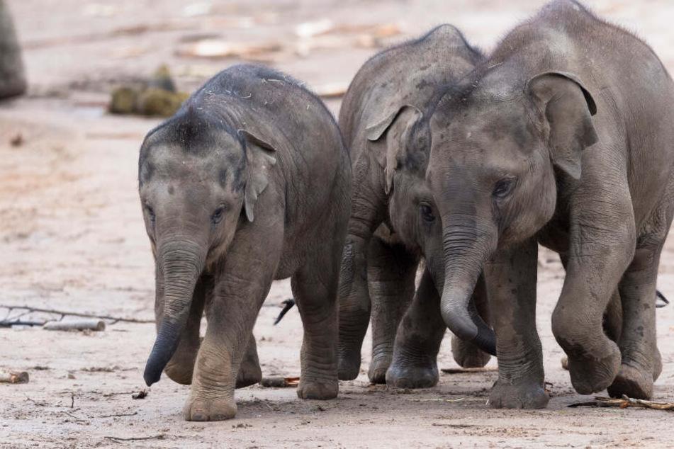 Die drei Elefanten-Jungbullen Kitai, Moma und Jung Bul Kne.