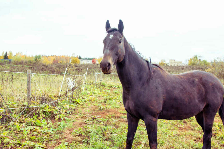 Das Pferd hatte eine 30 Zentimeter lange Schnittwunde auf dem Rücken. (Symbolbild)