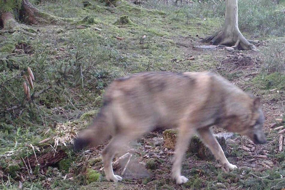Wie sicher sind die Wälder? Wolf breitet sich aus