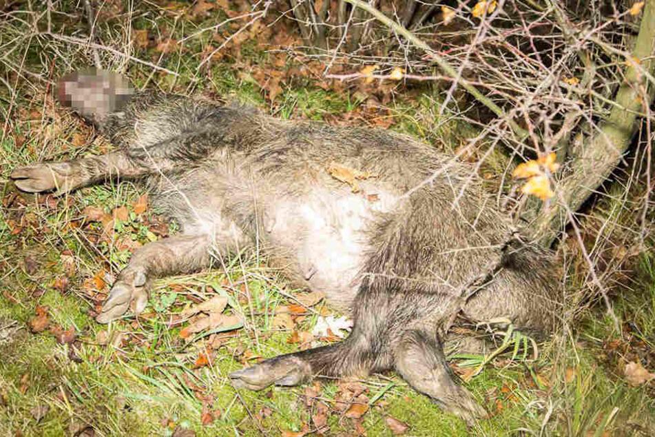 Die ca. 40 Kilogramm schwere Wildsau überlebte den Aufprall mit dem Kia nicht.