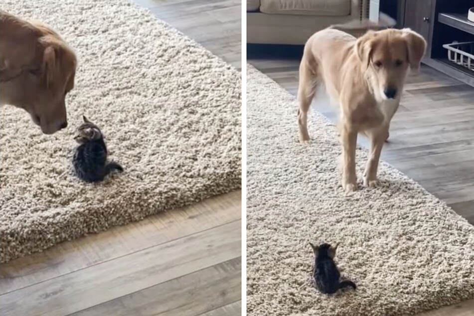 Golden retriever has a hilarious reaction to meeting a tiny kitten!
