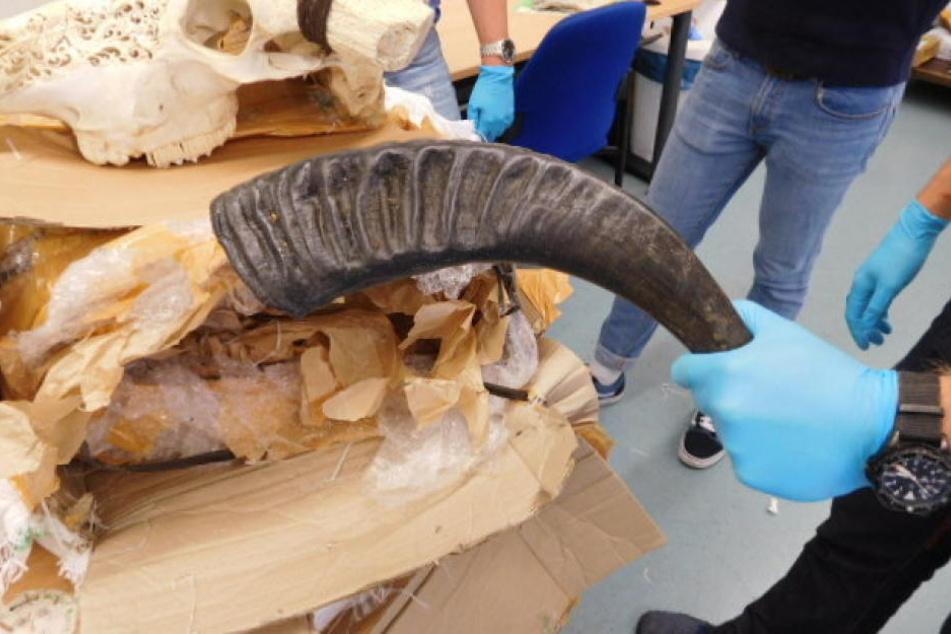 Sechs stark verweste Wasserbüffelschädel entdeckte jetzt der Zoll in München.
