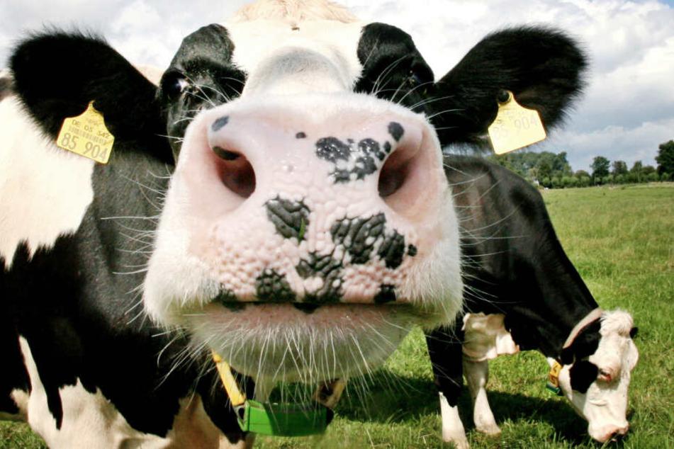 Immer weniger Bauern halten sich Milchkühe. (Symbolbild)