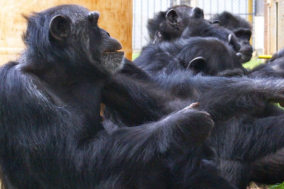 Der Text des Liedes sei von fünf Schimpansen aus dem Gelsenkirchener Zoo zusammengetragen worden...