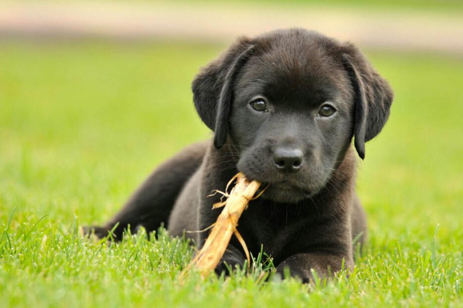 Auch Hunde können sich mit Coronavirus infizieren.