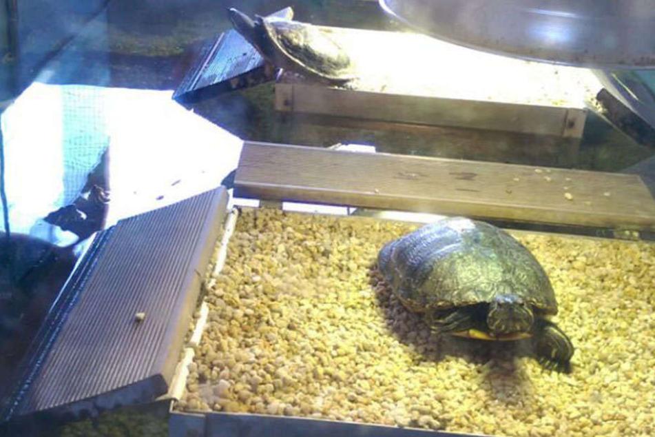 """Auch einige Gelb-, Rotwangen- und Streifenschildkröten stehen """"zur Abholung bereit""""."""
