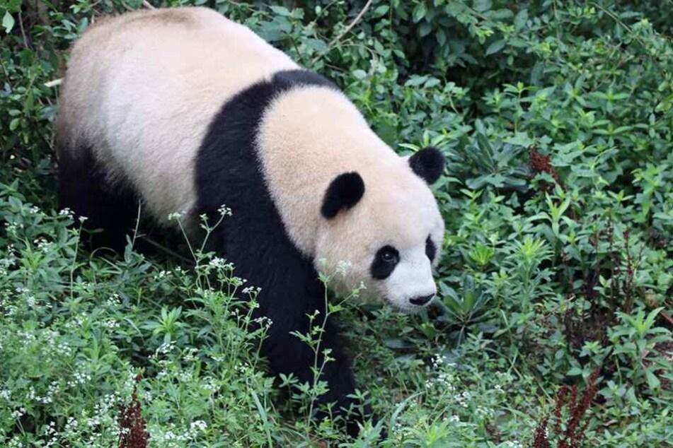 """Meng Meng"" soll für Pandababys im Berliner Zoo sorgen."