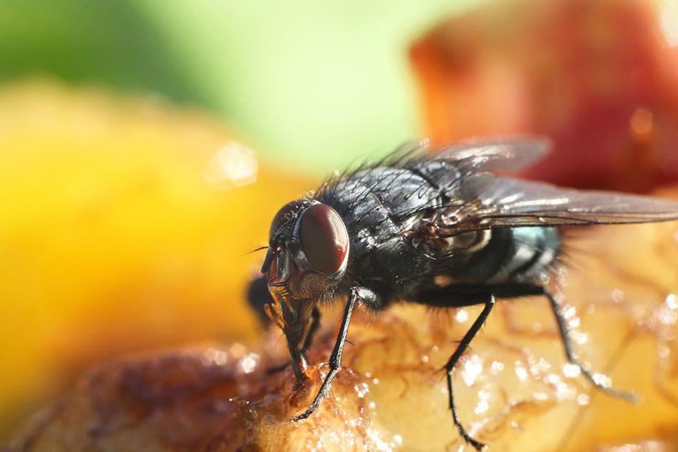 Wenn eine Fliege auf Eurem Essen gelandet ist, werft es besser weg! Zahlreiche Keime könnten sich daran befinden.