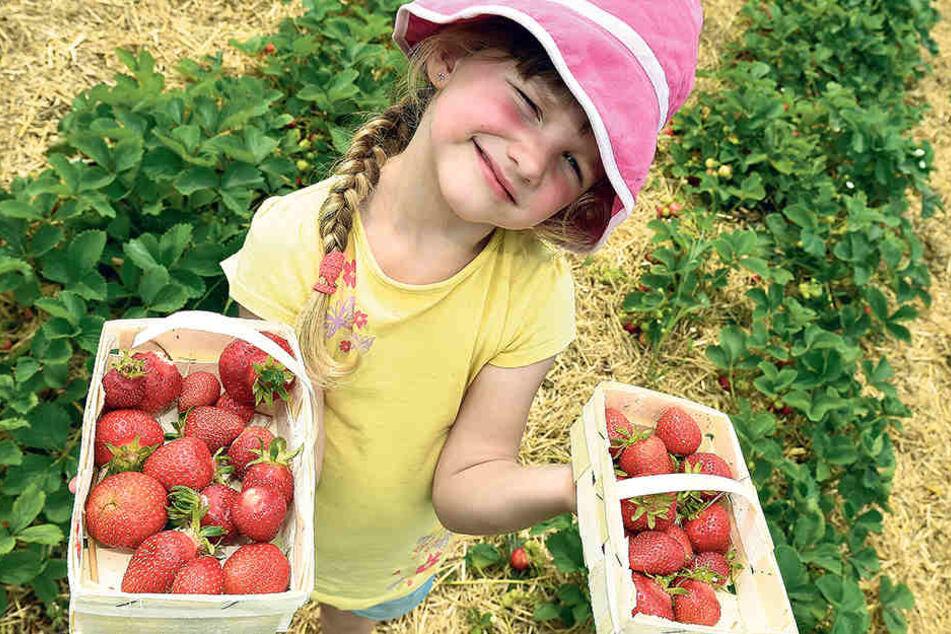 """Für die Kinder der Coswiger Kita """"Zwergenland Nieschütz"""" ist die Erdbeer-Ernte noch ein Spiel. Aber für die sächsischen Obstbauern ist es oft ein Kampf um die Existenz."""