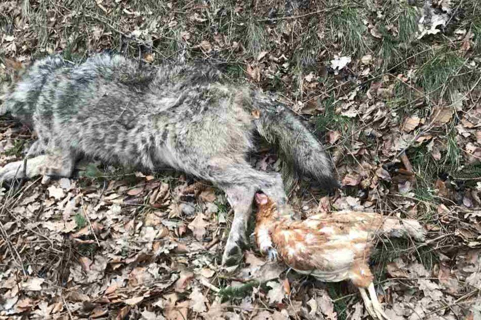 Dieser Wolf überlebte den Diebstahl eine Huhnes nicht.