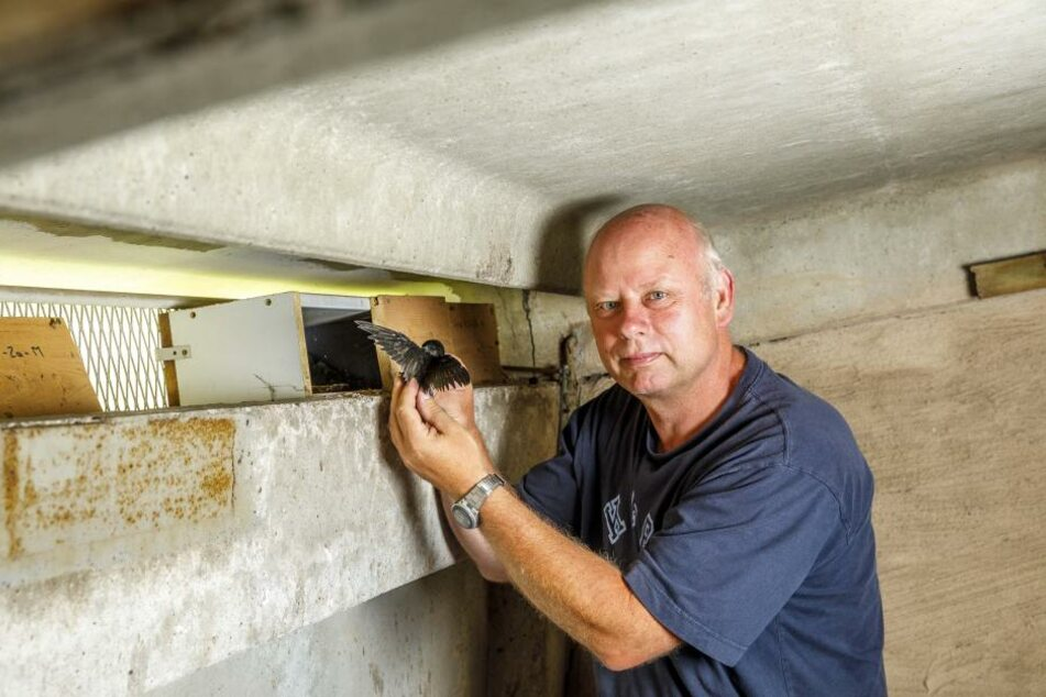 Auf dem Dachboden eines Neubaublocks setzt Michael Hupfer die Vögel ein.  Mittlerweile liegt der Nachweis vor: Die Ersatzeltern kümmern sich, alle Tiere  überleben.