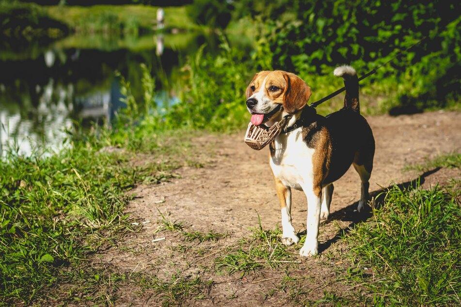 Hunde tragen einen Maulkorb aus unterschiedlichen Gründen. Manchmal ist es schlicht ein Selbstschutz für den Hund.