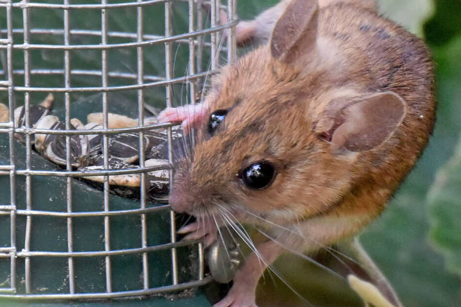 Durch Mäuse wird der Hantavirus übertragen. (Symbolbild)