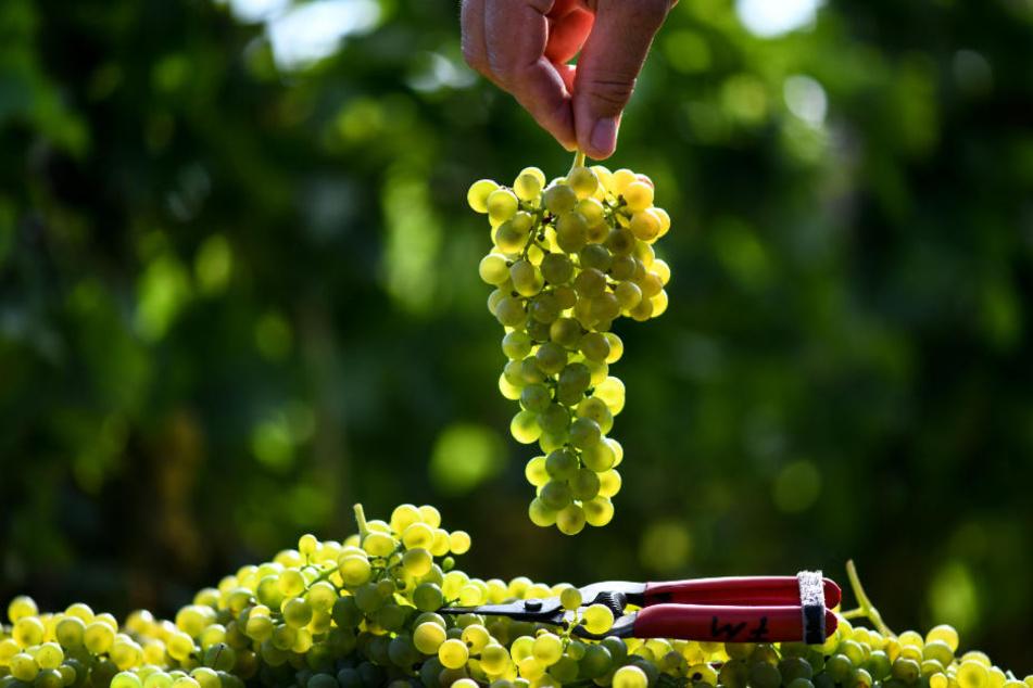 In Proben der Weintrauben wurde die Chemikalie nicht nachgewiesen. (Symbolbild)