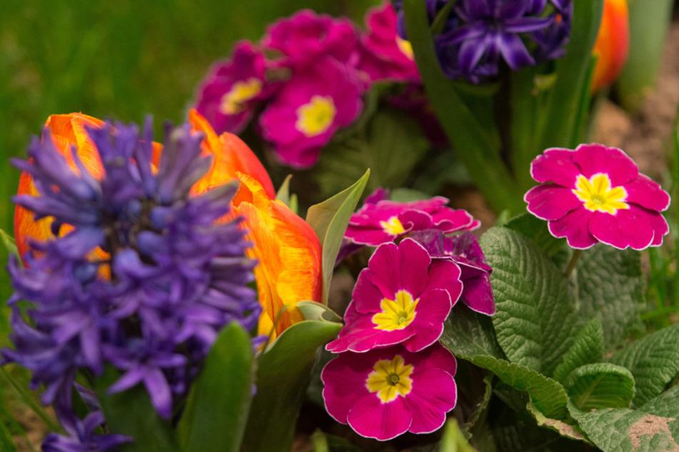 Blumen und Bäumchen auf Rasenplatz in Sandhauser Stadion gepflanzt