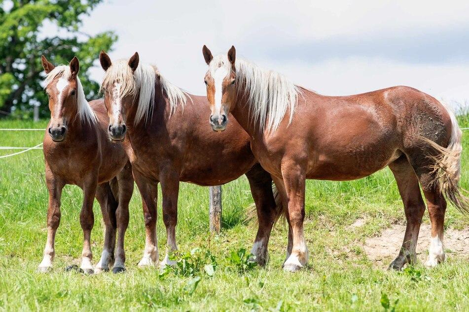 Drei Pferde stehen auf einer Weide. (Symbolbild)