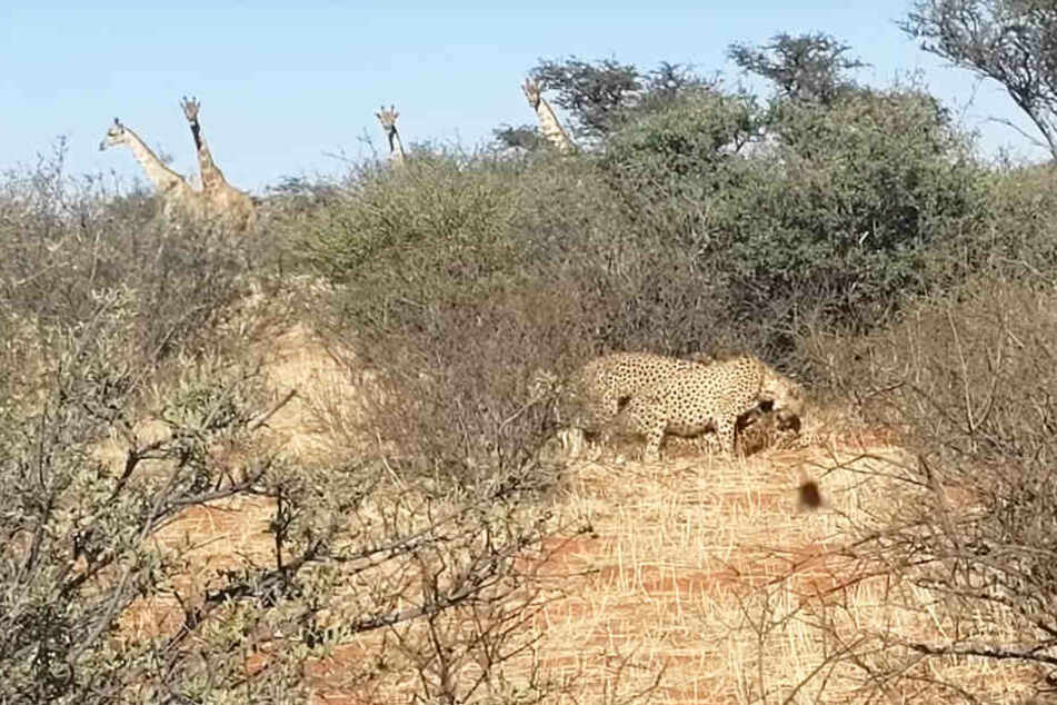 Die vier Giraffen konnten mit ihren langen Hälsen das Treiben gut beobachten.