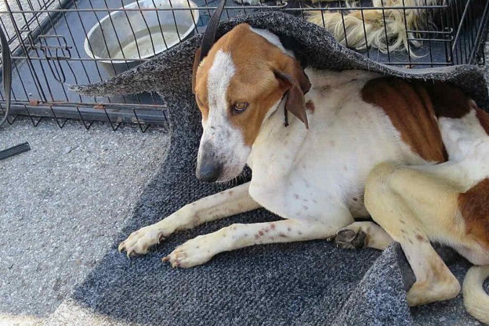 Schrecklich! Polizei entdeckt Rudel Hunde in erbärmlichen Zustand